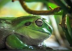 Smug frog (10000 wishes) Tags: waxymonkeyfrog amphibian macro closeup green wildlfe