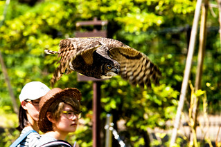 Vermiculated Eagle Owl, Abi in Flight : ワシミミズクの飛翔