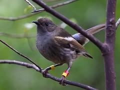 Hihi - female - RY-Ym (digitaltrails) Tags: stitchbird hihi karoribirdsanctuary karori bird sanctuary new zeland karorisanctuary notiomystiscincta newzealand zealandia