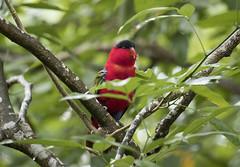 Black capped Lory (richard.mcmanus.) Tags: bird animal blackcappedlory parrot mcmanus singapore jurongbirdpark