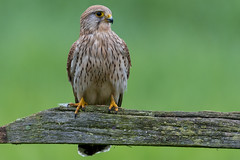 Kestrel - Worcestershire (irelaia) Tags: green beautiful day hide worcestershire bird wild kestrel