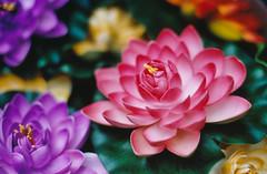 plastic lOtus (Jetcraftsofa) Tags: nikonf3 nikkor5014 portra160 35mm filmphotography lotus sutra plasticflowrs