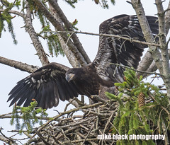 Bald Eaglet spreads wings (Mike Black photography) Tags: bald eagle bird eaglet nature sky canon 5dsr 800mm lens body usm l big year birdwatching nj new jersey shore mike black july 2017