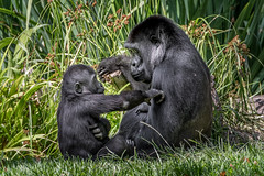 A Conversation with Mom (helenehoffman) Tags: africa mother jessica gorilla nature sandiegozoo motherandchild ape animal wildlife primate conservationstatuscriticallyengangered mom denny mammal momandchild gorillagorillagorilla greatape