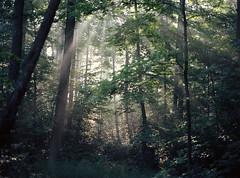 (toulouse goose) Tags: film fuji pro400h mamiya 645 e 120 sekor 80mm28 mediumformat c41 epson v500 forest morning mist trees sunbeams