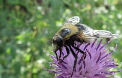 Bee on thistle (daaynos) Tags: bee bij macro insect wings thistle nature distel