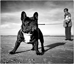 Untitled (Steve Lundqvist) Tags: dog dogs beach bulldog french bull getty image pets pet animal animale animals highqualityanimals cane perros perro allaperto domestico cani hund pup puppy d700 nikon nikkor bw images beast seaside sea