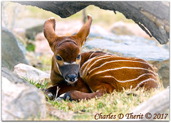 Baby Bongo (ctofcsco) Tags: 1320 1d 1dmark4 1dmarkiv 1div 200mm adorable baby bongo calf canon colorado cute didnotfire digital ef200mmf2lisusm eos eos1d eos1dmarkiv esplora 2017 animal bokeh denver denverzoo explore explored geo:lat=3975024770 geo:lon=10494968870 geotagged nature northamerica picture statecapitol supertelephoto telephoto vinestreethouses wildlife wwwdenverzooorg zoo f22 flashoff iso125 mark4 markiv partial photo pic pretty renown shutterspeedpriorityae unitedstates usa young