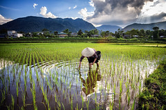 Rice job (Asian Hideaways Photography) Tags: asia asian rizière exterior ethnic people rice ricefield reflection travel travelphotography vietnam paddy southeastasia farmer green water woman work candid conicalhat vietnamese naturallight nature natural