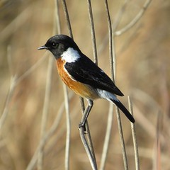 African Stonechat / Common Stonechat (male) / Gewone Bontrokkie (mannetjie) (Pixi2011) Tags: birds nature rietvleinr coth