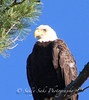 IMG_7208 3baldeaglecopygr (Sally Knox Sakshaug) Tags: ourdoors nature wildlife bald eagle symbole americal usa perched tree looking up closeup majestic adult brown white eye beak golden