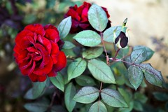 Freeze Rose (AdrianoSetimo) Tags: dew orvalho sereno moisture flower flor rose rosa rosebud red vermelho green olympuspenf olympus25mmf18 mzuiko25mm18 freeze frost geada santabárbara minasgerais