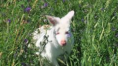 Albino kangaroo (Yuth-in-Asia) Tags: albino kangaroo roo marsupial