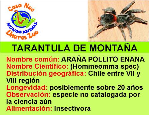 tarantula de montaña