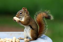 Parker the Squirrel (LN Ellen) Tags: explore squirrel animal peanut green brown tail sharpfocus mammal wildlife wild ontario canada ln