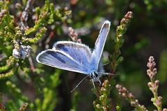 Silver-studded Blue (m) (Roy Lowry) Tags: plebejusargus silverstuddedblue rspbarne