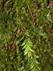 Small Fork Fern (Tmesipteris parva) (Poytr) Tags: arfp nswrfp vrfp trfp fern arffern cooltemperatearf smallforkfern tmesipterisparva tmesipteris psilotaceae crepidomanesvenosum crepidomanes hymenophyllaceae filmyfern