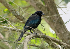 Shiny Cowbird ---- Molothrus bonariensis (creaturesnapper) Tags: ecuador puembo southamerica birds molothrusbonariensis shinycowbird