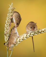 Three's definitely a crowd (Janet Marshall LRPS) Tags: mouse rodent harvest harvestmice corn macro animal kiss captivelight