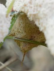 IMG_8115a - Aethalium of Dog Vomit Slime Mold (Fuligo septica) (underside) - Zephyr, Ontario, Canada (Wayne W G) Tags: canada northamerica ontario durham uxbridge zephyr taxonomy:kingdom=protozoa protozoa taxonomy:phylum=mycetozoa mycetozoa taxonomy:class=myxomycetes myxomycetes taxonomy:order=physarales physarales taxonomy:family=physaraceae physaraceae taxonomy:genus=fuligo fuligo taxonomy:species=septica taxonomy:binomial=fuligoseptica fuligoseptica heksenboter scrambledeggslimemold gelbelohblüte hexenbutter paranvoi meltedicecreamslimemold flowersoftan fleurdetan dogvomitslimemold taxonomy:common=heksenboter taxonomy:common=scrambledeggslimemold taxonomy:common=gelbelohblüte taxonomy:common=hexenbutter taxonomy:common=paranvoi taxonomy:common=meltedicecreamslimemold taxonomy:common=flowersoftan taxonomy:common=fleurdetan taxonomy:common=dogvomitslimemold inaturalist:observation=7025358 tamron sp af 60mm f2 diii ld if macro 11 model g005