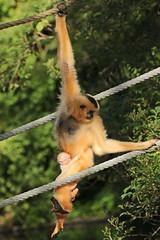 yellow cheeked gibbon artis BB2A8968 (j.a.kok) Tags: monkey gibbon mammal mensaap artis asia azie goudwanggibbon yellowcheekedgibbon zoogdier dier animal aap ape nomascusgabriellae