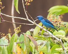 Blue Dacnis (J.B. Churchill) Tags: blda birds bluedacnis costarica heredia laselvaotsreserve places tanagershoneycreepers taxonomy cr laselva