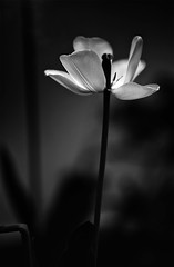 tulip (photoksenia) Tags: tulip floral flower light monochrome blackandwhite bw nature