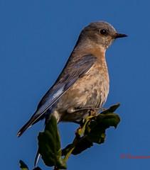 Western blue bird(female) (praspn) Tags: drycreek garin haywardca westernbluebird