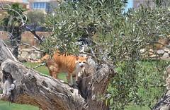 Gino aventurero (En memoria de Zarpazos, mi valiente y mimoso tigre) Tags: gino pezuñotas árbol olivo gato cat gatto cc100 kat katt pushi pishi kot chat katze mio neko