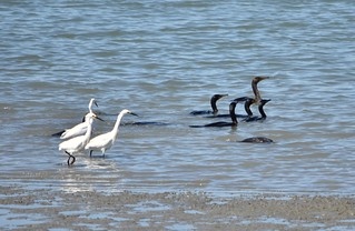 Snowy Egrets and Double-crested Cormorants at MLK Shoreline