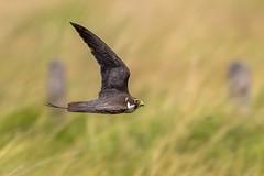 """ Faster than a speeding....."" (trevorwilson1607) Tags: hobby falcosubbuteo falcon thursleycommon bird avian flying fast nikond500 sigma500f4 3200thsec f4 320iso"