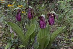Cypripedium acaule - clump of 4 dark ones [Explore 2017-06-14] (ab_orchid) Tags: native orchid species cypripedium acaule manitoba alberta nativeorchidconference 2017 potw