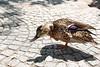 Tickling (grundi1) Tags: sony alpha 68 ilca68 a68 kärnten carinthia sigma1770f2845dcmacro minimundus birds vögel stockente anas platyrhynchos mallard sigma 1770 f2845