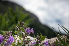 _DSC5653-2 (Nadja E.) Tags: achensee gemeindeebenamachensee tirol österreich at makro berg blume blüte rofan rofanbergstation