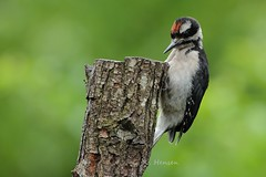 Juvenile Hairy Woodpecker (cobalt_creek) Tags: woodpecker hairywoodpecker juvenilehairywoodpecker picoidesvillosus canon canon5dmarkiii birdsofwashingtonstate wawildlife birdinginwa washingtonstatewildlife backyardbirding birdinginthepacificnorthwest pnw wa wildlifeofthepacificnorthwest greghensen