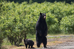 What's that sound. (Maja's Photography) Tags: bc blackbear bears wildlife wilderness wild nature naturephotography forest fur fantasticnature trees grass