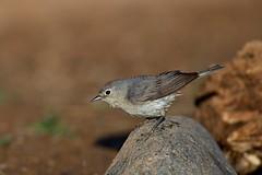 Lucy's Warbler (Andrej Chudy) Tags: bird birding birdwatching usa america trip canon wild wildlife animal nature outdoor arizona fullframe desert northamerica canon600mmf4isusm canon1dx 1dx