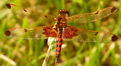 be still my heart (xzna) Tags: dragonfly hearts resting red friends