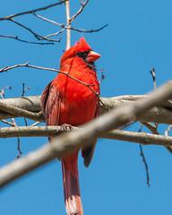 04102017-139-3+ (bjf41) Tags: cardinal northern re edit redo red bird tree