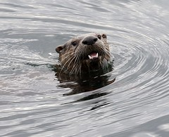 North American River Otter face coming out of the water (Paul Cottis) Tags: vancouverisland paulcottis otter oakbay upland mammal 18 may 2017 victoria portrait