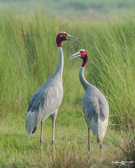 Sarus cranes, today morning (mathewindelhi) Tags: crane bird birds sarus india delhi wildlife beauty tall couple pair love