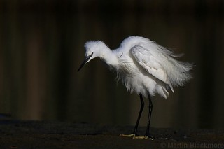 Little Egret with ruffled feathers 81310