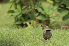 Ruiseñor,Northern Mockingbird  (Mimus polyglots) (Rc) (Gogolac) Tags: 2017 aves birdphotography birdie birds canon7dmii fauna location northernmockingbird ruiseñor season verano year birdspot birdingrd birdsspotters fotografiasrealizadasenel2017 republicadominicana