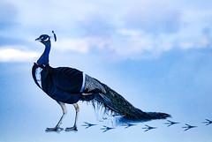 Cocktail Time (Steve Taylor (Photography)) Tags: bird art poster blue black white newzealand nz southisland canterbury christchurch cloud sky peacock tuxedo dinnersuit