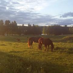 Lisää hevosia @laaksolan_ratsutila