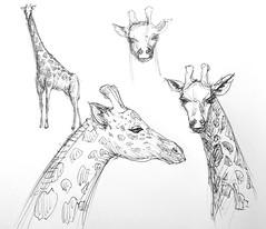 Giraffe sketches (Marcos Telias) Tags: art drawing dibujo boceto sketch giraffe jirafa illustration ilustración bosquejo arte artista artist ballpoint bolígrafo pen lápiz fantasy