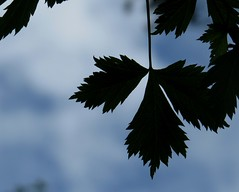 Rocky Mountain Maple Silhouette (HeidiG71) Tags: silhouette macromondays macro rockymountainmaple maple leaf leaves sky colorado coloradosprings 7dwf