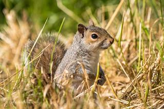 Squirrel in the undergrowth D50_9462.jpg