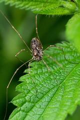 Weberknecht (planetvielfalt) Tags: arachnida chelicerata opiliones rhön bayern deutschland