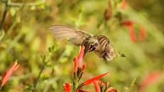Keeping Up Appearances (vgphotoz) Tags: vgphotoz usa hummingbird flowers nature birds arizona burstingwithflavor wings wildwest nikon colibri ngc